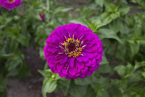 Flower, Magenta, Zinnia, Summer, Gardening, Franklin D