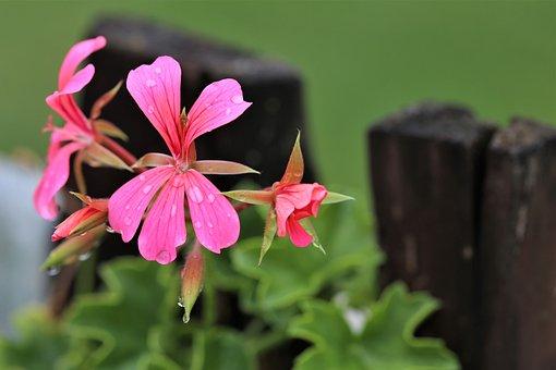 Pink Flower, Pelargonium, After Rain, Drops, Plant