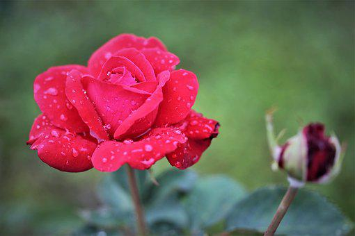 Red Rose, After Rain, Flower, Bud, Drops, Wet, Water