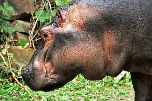 Hippo, Animal, Fat, Appearance, Animals, Hippos, Nature