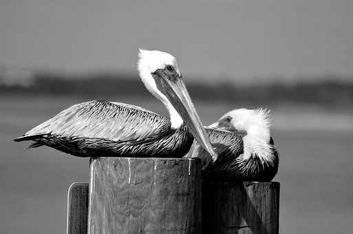 Pelicans, Bird, Avian, Wildlife, Nature, Pelican, Water