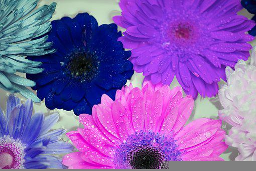 African Daisy, Attractive, Background, Beautiful