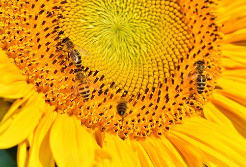 Sunflower, Bee, Insect, Sprinkle, Pollen, Blossom