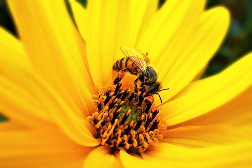 Bee, Insect, Feeding, Pollination, Yellow Flower