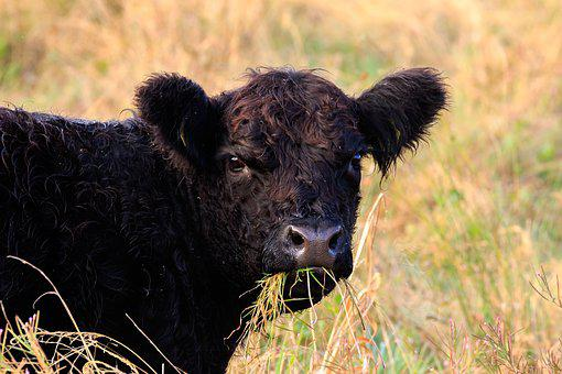 Beef, Cattle Breed, Galloway, Chew The Cud, Pasture