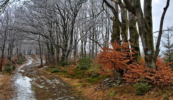 Forest, Beeches, Way, Beskids, Magura Wilkowicka