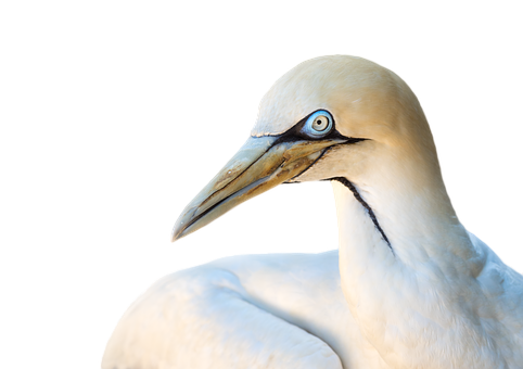 Cape Gannet, Gannet, Bird, Animal, Heron, White, Nature