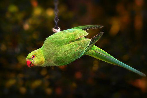 Ring Necked Parakeet, Parrot, Bird, Animal