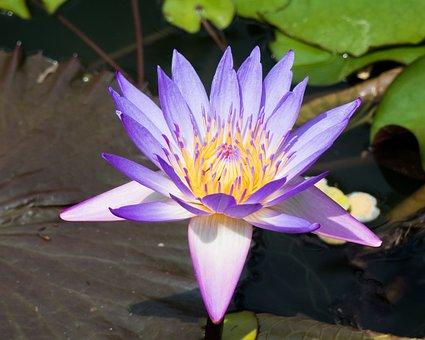 Botany, Water Flower, Flower, Blue, Blossom, Bloom