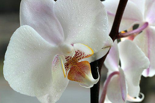 Orchid, Flower, Macro, Blossom, Bloom, Nature, Plant