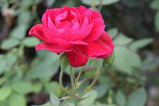 Flower, Rose, Nature, Bloom, Blossom, Pink, Romance