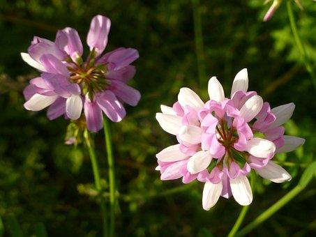 Clover, Flower, Purple, Nature, Blossom, Summer