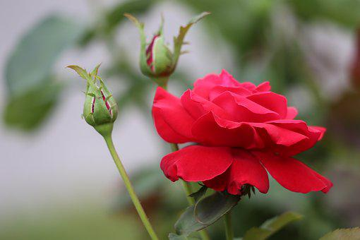 Red Rose, Buds, Bloom, Flower, Blossom, Plant, Romantic