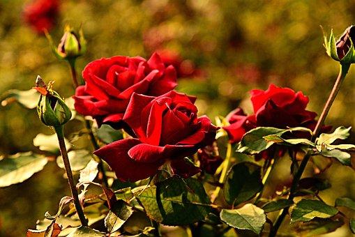 Rose, Flower, Leaves, Stem, Bud, Thorn, Nature