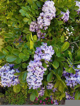 Lilac, Shrub, Bush, Purple, Lavender, Fragrant, Bloom