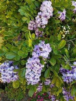Lilac, Shrub, Bush, Purple, Lavender, Fragrant, Bloom