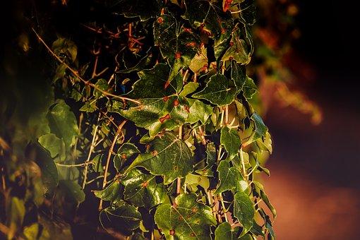 Ivy, Plant, Climber Plant, Nature, Evening Sun, Leaves