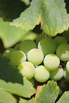 Wine, Close Up, Immature, Green, Butt, Vine, Grapevine