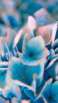 Hydrangea, Blossom, Bloom, Blue, Close Up, Beautiful