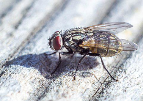 Fly, Close Up, Macro, Animal, Insect, Nature, Flying