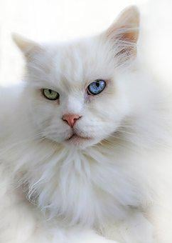Cat, White, Breed Cat, Eyes, Blue, Green, Pet, Close Up