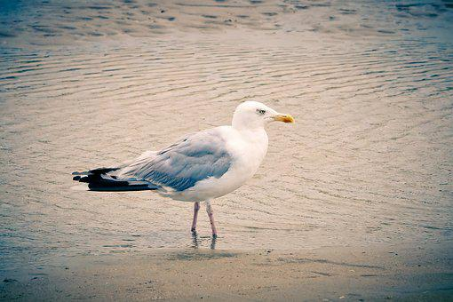 Seagull, Beach, Sea, Coast, Bird, Water, Nature