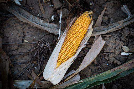 Corn, Corn On The Cob, Ripe, Yellow, Food, Harvest