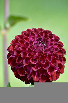 Dahlia, Flower, Bloom, Blossom, Plant, Flora, Nature