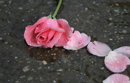 Pink Rose Papillon, Petals, In Water, Wet, Drops, Rain