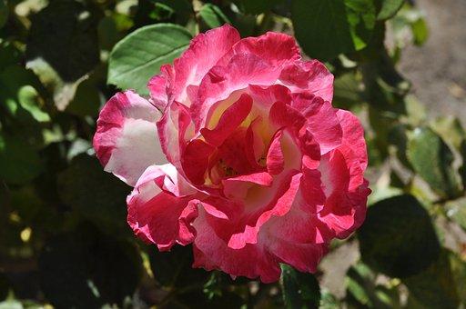 Flower, Blossom, Plant, Petals, Flora, Blooming, Nature