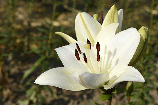 Lily, Plant, Blossom, Bloom, Flower, Nature, Flora