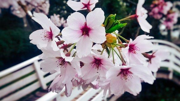 Blossom, Bridge, Floral, Bloom, Spring, Flowers, Tree