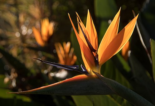 Bird Of Paradise Flower, Flower, Petals, Sun Lit