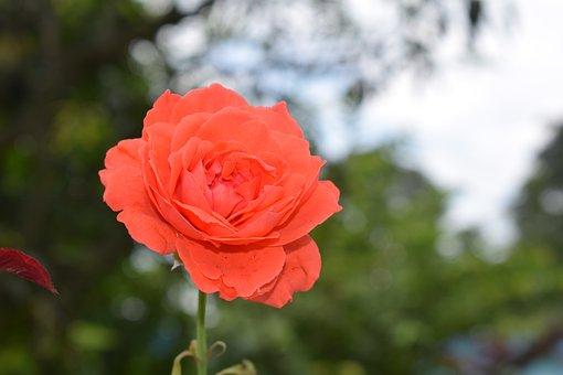 Rose, Flower, Nature, Bloom, Blossom, Love, Pink