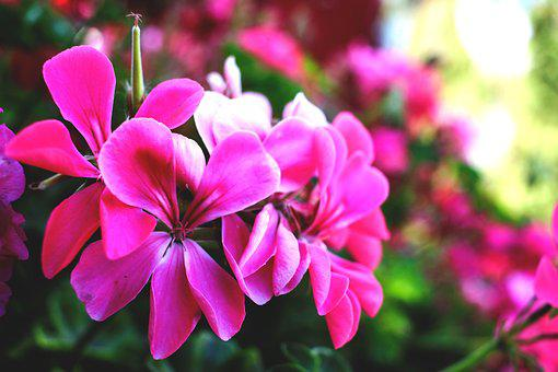 Flower, Rose, Pink, Nature, Color, Beautiful, Plant