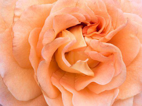 Flower, Rose, Petals, Orange, Macro