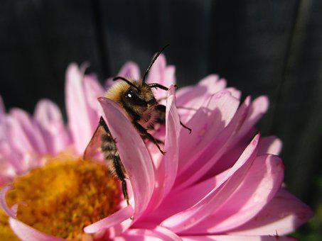 Bumblebee, Astra, Flower, Pink, Bumblebees, Insects