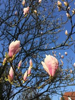 Magnolia, Pink, Nature, Flowers, Garden