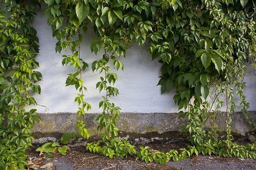 Wall, Ivy, Foliage, Greenery, Leaf