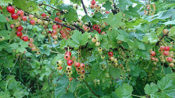 Currant, Red Currant, Food, Berry, Green, Unripe