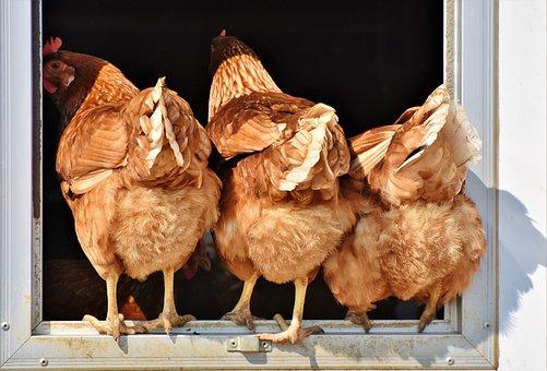 Chicken, Hen, Poultry, Rump, Butt, Free Range