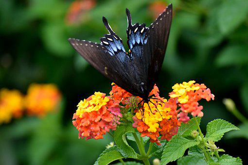 Black Swallowtail Butterfly, Garden, Insect, Butterfly