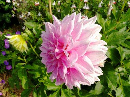 Flowers, Gardens, Dalhias