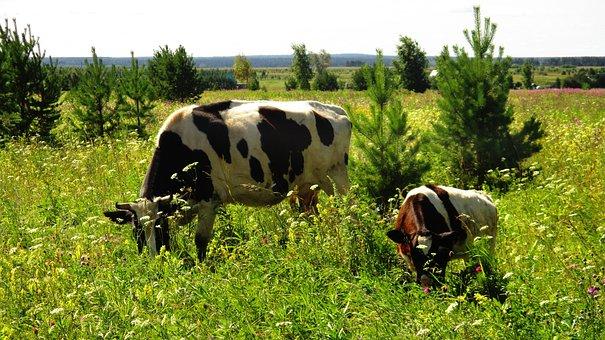 Cow, Calf, Cattle, Grazing, Pasture, Animals, Grass