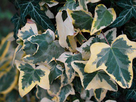 Ivy, Garden, Green, Yellow, Of Course, Climber Plant