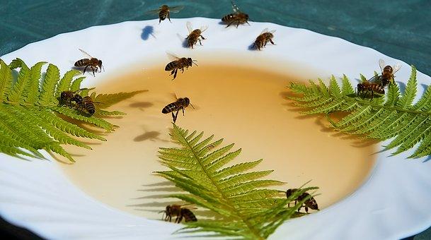 Bee, Honey, Feeding, Honey Water, Drought, Food, Hunger
