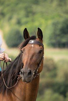 Horse, Portrait, Animal, Brown, Ride, Reiter, Reins