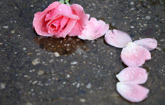 Pink Rose, Petals, In Water, Drops, Wet, Rain, Flower