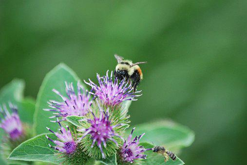 Bee, Clover, Summer, Flower, Insect, Nature, Blossom