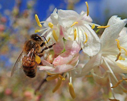 Honey Bee, Insect, Pollen, Flowers, Woodbine, Nature